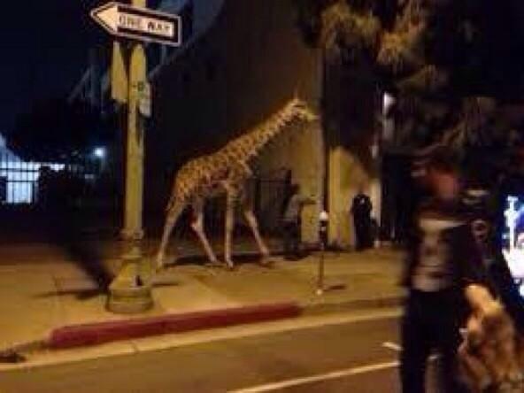 Purge Giraffe