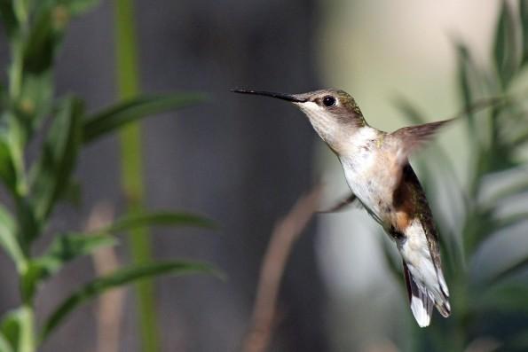 Voorgesteld Beeldmateriaal 2 (Google Hummingbird)